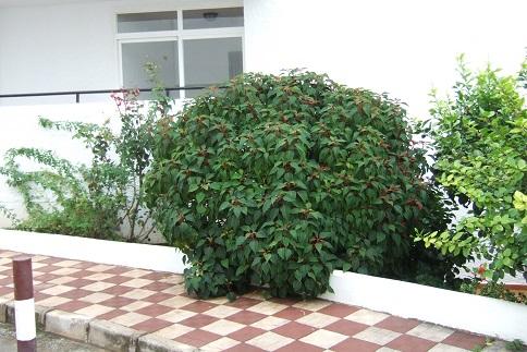 Euphorbia pulcherrima (= Poinsettia pulcherrima) - étoile de noël Dscf3118