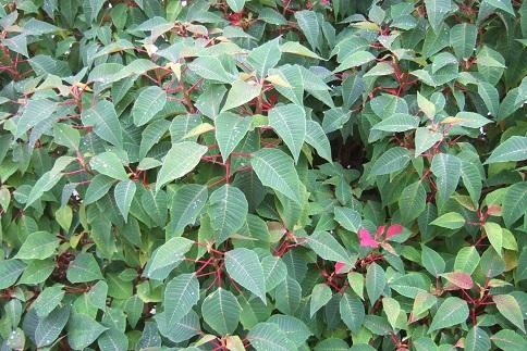 Euphorbia pulcherrima (= Poinsettia pulcherrima) - étoile de noël Dscf3119