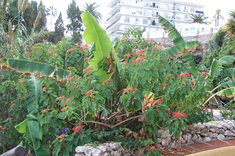 Euphorbia pulcherrima (= Poinsettia pulcherrima) - étoile de noël Dscf3121