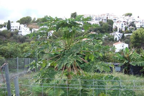Carica papaya - papayer Dscf3125