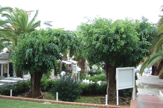 Ficus benjamina Dscf3132