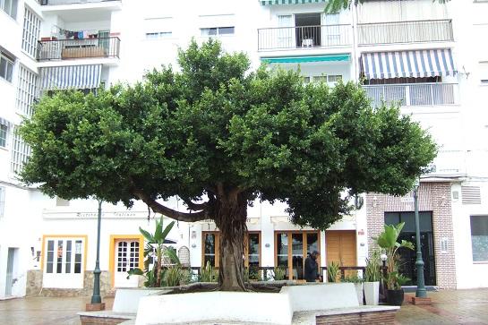 Ficus retusa Dscf3134