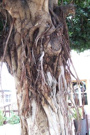 Ficus retusa Dscf3135