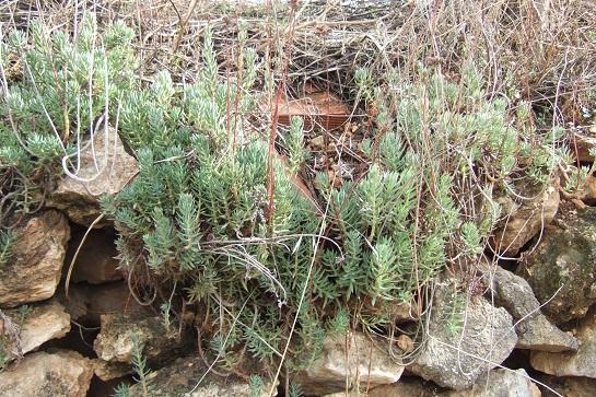 Petrosedum sediforme (ex Sedum) - orpin de Nice - Page 2 Dscf3141