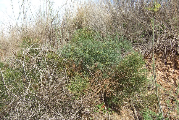 Asparagus horridus Dscf3145