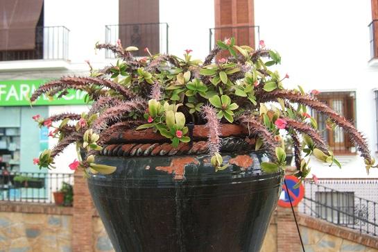 Euphorbia millii - Page 3 Dscf3225