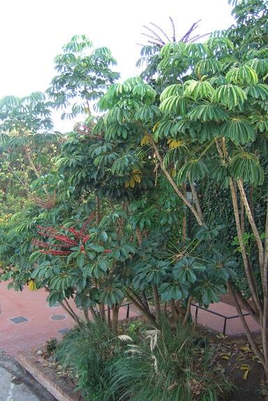 Schefflera actinophylla Dscf3226