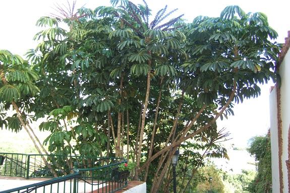 Schefflera actinophylla Dscf3227