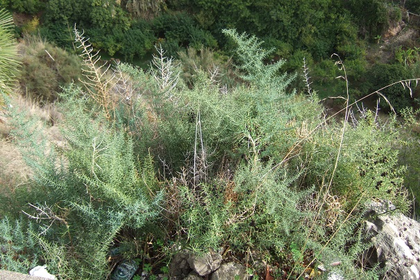 Asparagus horridus Dscf3237