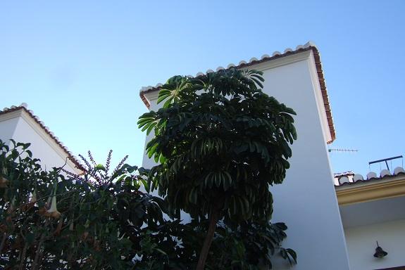 Schefflera actinophylla Dscf3319