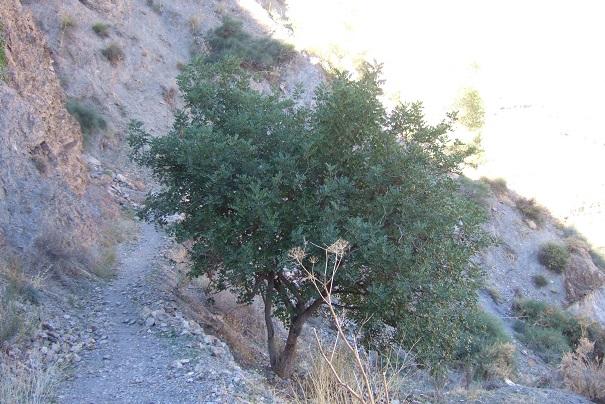 Ceratonia siliqua - caroubier Dscf3511