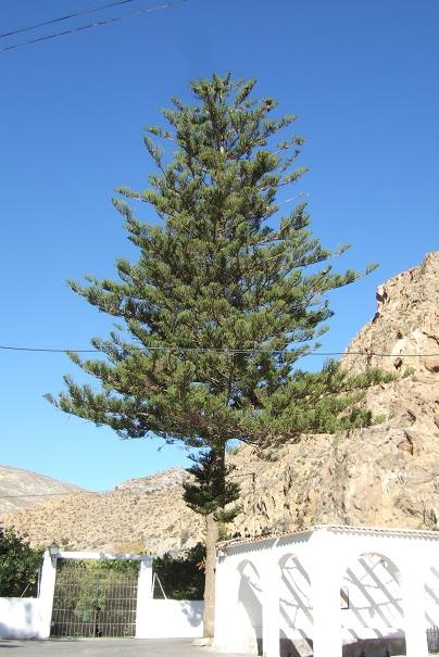 Araucaria heterophylla - pin de Norfolk Dscf3513