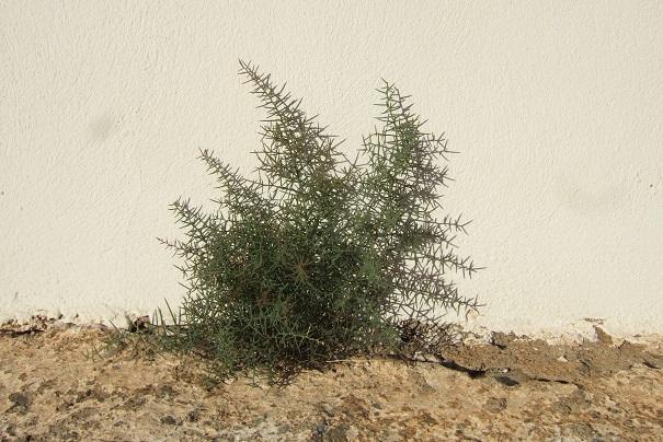 Asparagus horridus Dscf3615