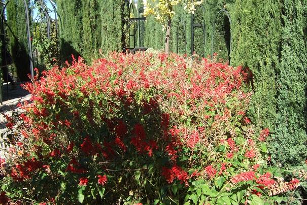 Salvia splendens  Dscf3814