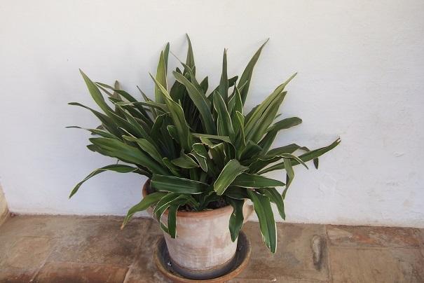 rohdea - Rohdea japonica - rohdée du Japon - Page 2 Dscf3818