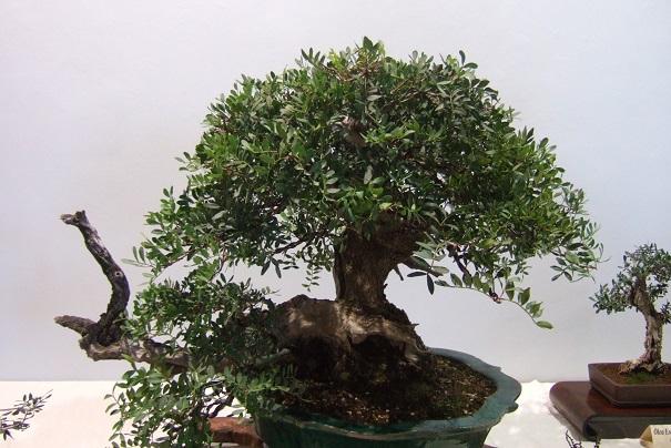 Pistacia lentiscus - pistachier lentisque Dscf3822