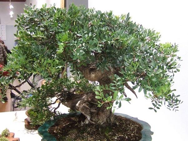 Pistacia lentiscus - pistachier lentisque Dscf3823