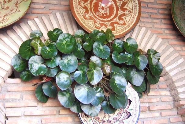 Begonia x erythrophylla Dscf3910