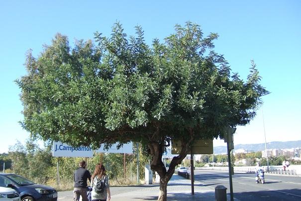 Ceratonia siliqua - caroubier Dscf3911