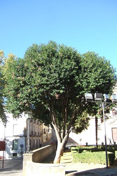 Ligustrum lucidum - troène luisant Dscf3915