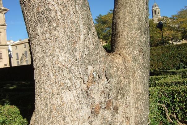 Ligustrum lucidum - troène luisant Dscf3917