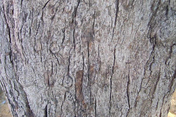 Ligustrum lucidum - troène luisant Dscf3918