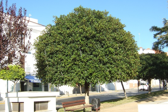 Ficus retusa Dscf4011