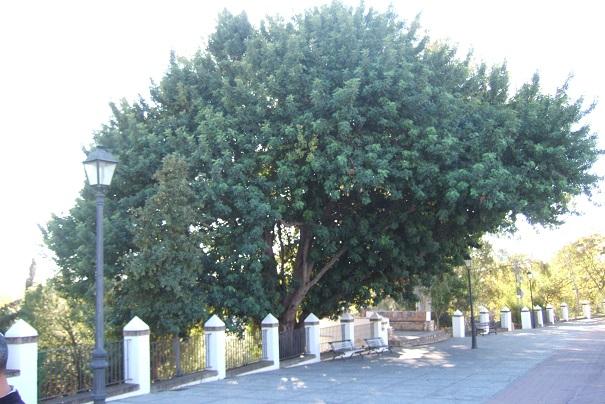 Ceratonia siliqua - caroubier Dscf4014
