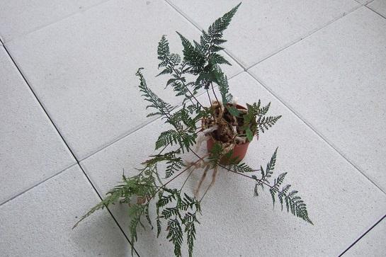 Davallia - fougère patte de lapin - Page 2 Dscf4218