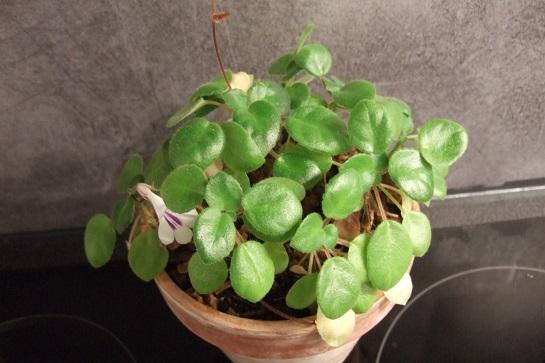 Primulina tamiana Dscf4229