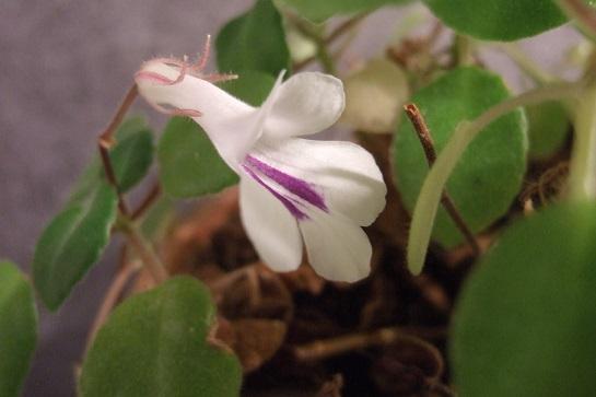 Primulina tamiana Dscf4230
