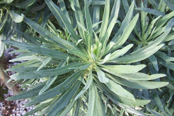 Kleinia neriifolia (= Senecio kleinia) - Page 2 Dscf4331