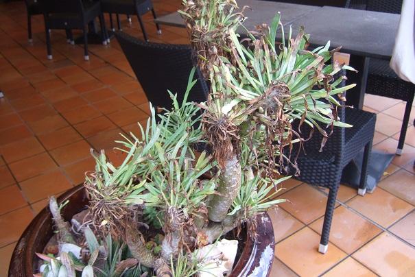 Kleinia neriifolia (= Senecio kleinia) - Page 2 Dscf4332