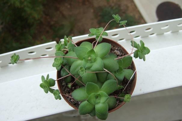 Crassula orbicularis var. orbicularis Dscf4411