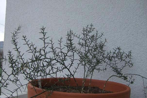 Asparagus horridus Dscf4434