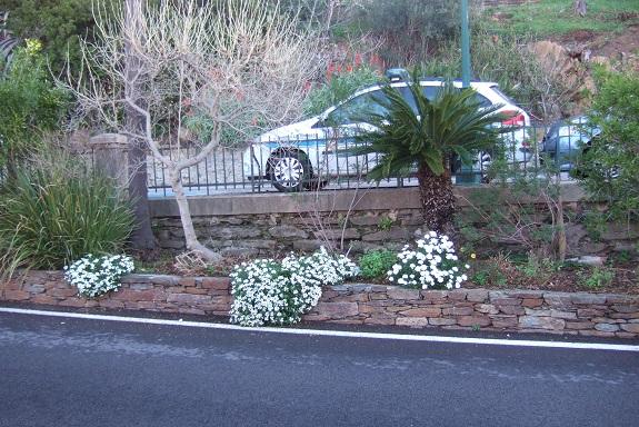 Iberis semperflorens - ibéris toujours fleuri Dscf4443