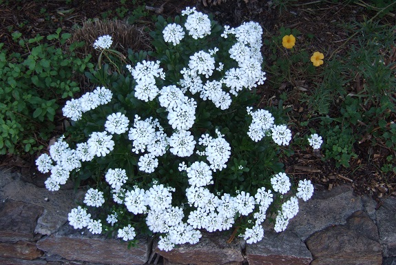 Iberis semperflorens - ibéris toujours fleuri Dscf4444