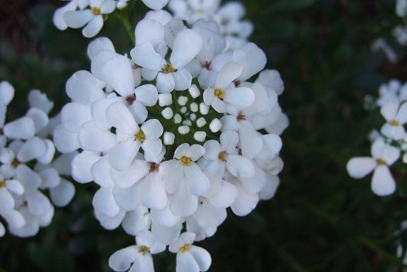 Iberis semperflorens - ibéris toujours fleuri Dscf4445
