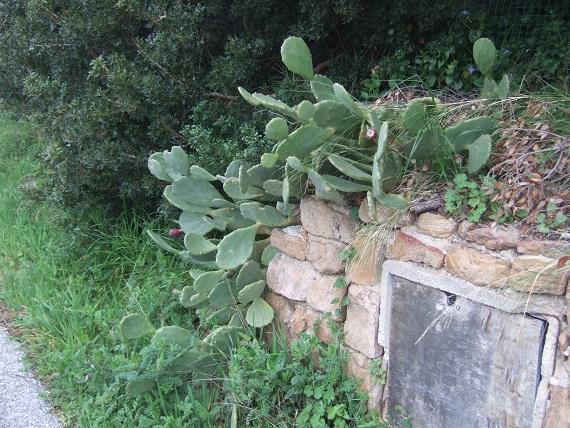 Opuntia stricta Dscf5510