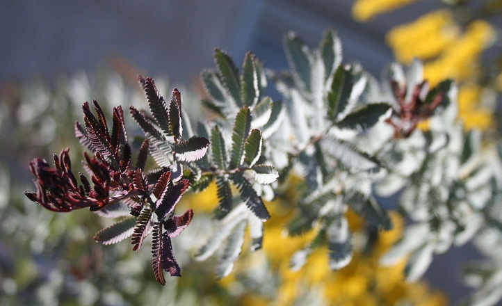Acacia baileyana 'Purpurea' Img_0410