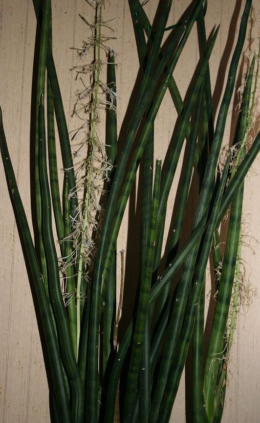 Sansevieria cylindrica Img_1311