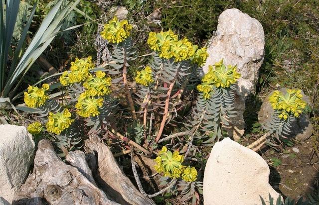 Euphorbia rigida - euphorbe rigide - Page 3 Img_1313