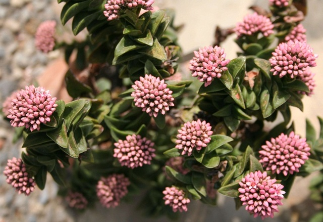 Crassula 'Bride's Bouquet' Img_1315