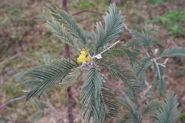 Acacia dealbata Img_1319
