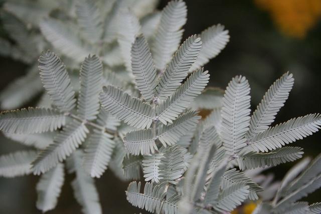 Acacia baileyana 'Purpurea' Img_1320