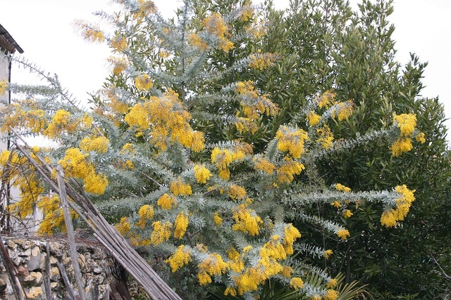Acacia baileyana 'Purpurea' Img_1321