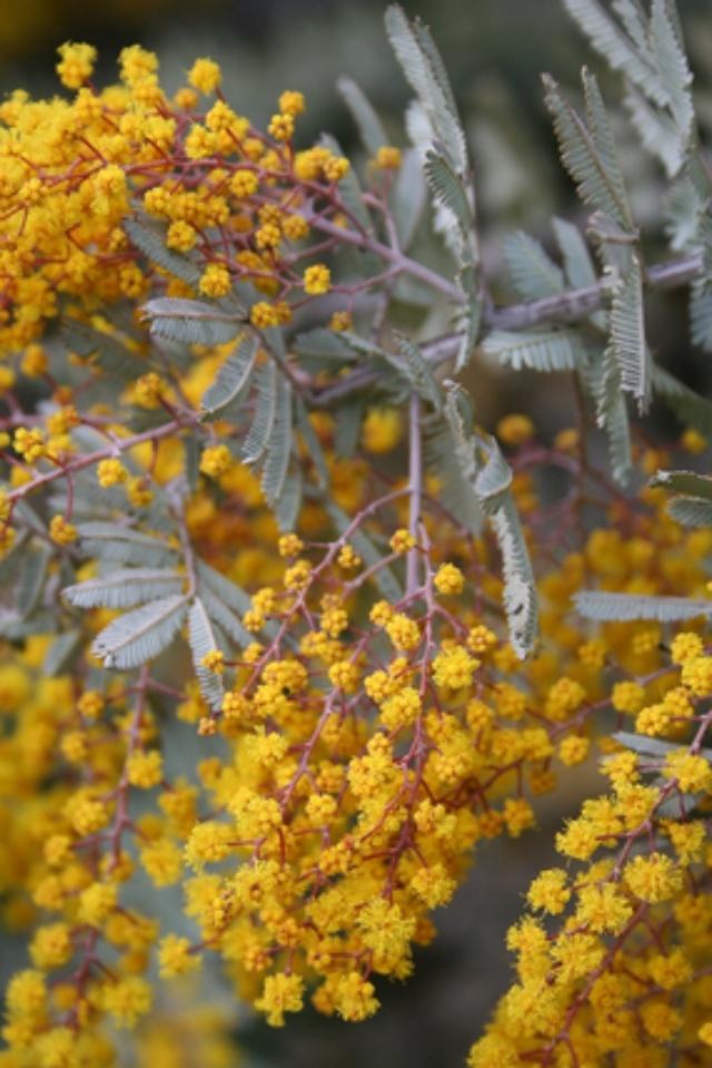 Acacia baileyana 'Purpurea' Img_1322