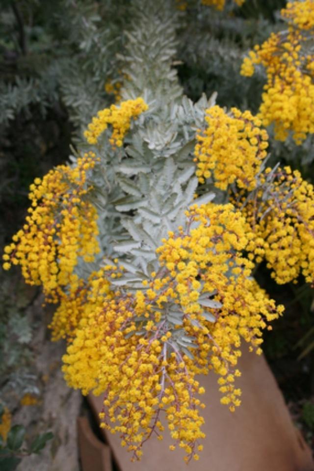Acacia baileyana 'Purpurea' Img_1323