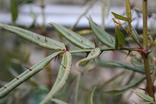 Zanthoxylum armatum - poivre de Timut Img_1324