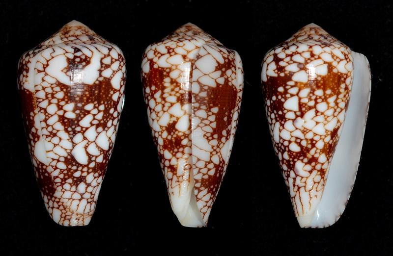 Conus (Darioconus) episcopus marmoricolor   Melvill, 1900 Pennac11